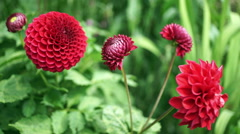 Red pompom dahlia flowers. Stock Footage
