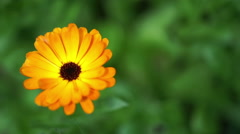 Calendula or pot marigold, edible, orange, daisy like flower. Stock Footage