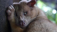 Luwak Animal Produces the Most Expensive Coffee on Bali Stock Footage