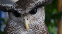 Closeup of Wise Owl with Big Eyes Stock Footage