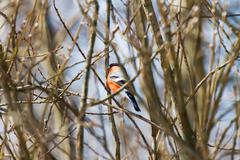 Natural winter background - frozen branches and bullfinch. Early cold sunny m - stock photo
