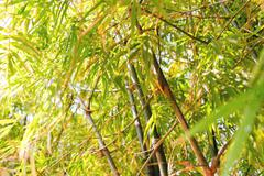 Nature background with bamboo trees. Cambodia. Stock Photos