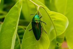 Beautiful Jewel Beetle or Metallic Wood-boring (Buprestid) on green leaf. Stock Photos