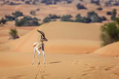 Arabian Gazelle Stock Photos