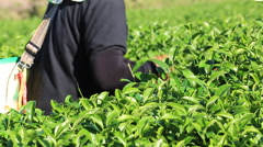 Tea flushes harvested by hand have high quality and make up for high grade Stock Footage