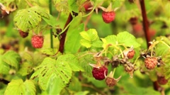 Ripe And Unripe Raspberries - stock footage