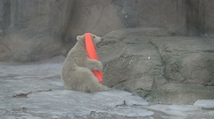 Polar bear baby playing with plastic cone Stock Footage