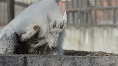 Snow goat digging and resting Stock Footage