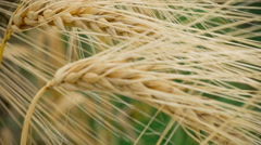 Close-up of two Ripe Wheat Straws Waving in Wind. Deep Green on Background Stock Footage