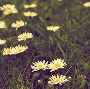 Camomile Flower Field - stock photo