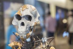 Lucy skeleton Kuvituskuvat