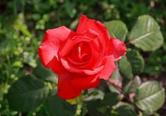 Red rose close-up illuminated by the sun. Flowers Stock Photos