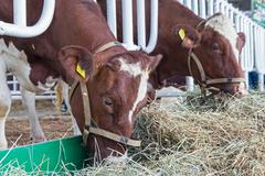Brown and white cow in the barn. Agriculture Kuvituskuvat