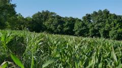 Corn Field Crop Damage Handheld Tilt Shot Stock Footage