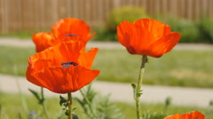 Poppy in sharp focus with defocused poppies in the background. Stock Footage