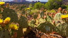 MoCo Tracking TimeLapse of Cactus Flowers at Hilltop in Sedona, Arizona Zoom Out Stock Footage