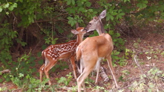 Mother white tail deer kisses fawn Stock Footage
