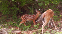 Mother white tail deer grooming her fawn Stock Footage