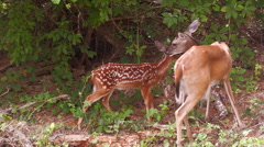Mother white tail deer grooms her spotted Stock Footage