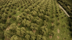 Orchard Aerial: Overview Of Production Orchard Pear Trees Pre Harvest Stock Footage