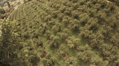 Orchard Aerial: Pear Trees In Production Pre Harvest Stock Footage