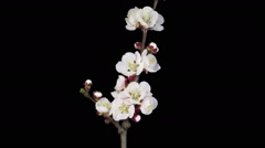 Time-lapse of blooming apricot tree branch in RGB + ALPHA matte format Stock Footage