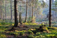 Sunbeam entering swampy coniferous forest misty morning with old spruce and p - stock photo