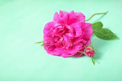 beautiful romantic pink rose flower with bud and leaf lies on green backgroun - stock photo