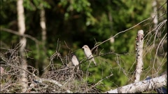 Two nestlings Red-backed Shrike are sitting on a dry branch of a fallen tree - stock footage