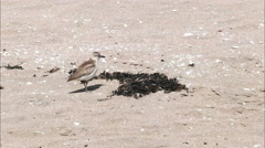 Nz dotterel on a new zealand beach Stock Footage