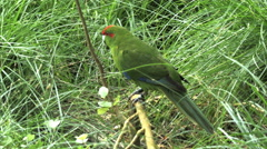 Close up of a red crowned parakeet Stock Footage