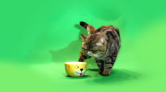 funny cat chromakey - stock footage