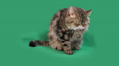 funny exotic shorthair - stock footage