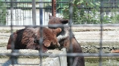 Brown bears in zoo. Playing bears. Slow motion Stock Footage