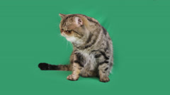 funny cat exotic breed - stock footage