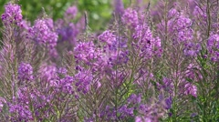 Fireweed flowers are swaying in the wind Stock Footage