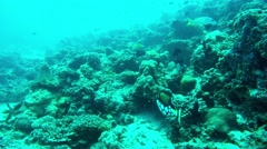 Diving with Beauty Clown Triggerfish Stock Footage