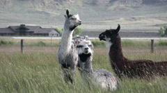 Regal Llamas Soft Fluffy Wooly Fleece Ruffles On Windy Day - stock footage