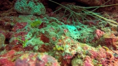 Painted rock lobster underwater under a coral reef ledge Stock Footage