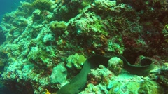 Giant Moray Eel (Gymnothorax javanicus) Stock Footage
