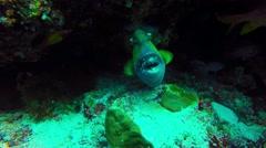 Titan Triggerfish Portrait Stock Footage