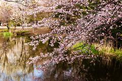 Cherry blossom near lake, Hokkaido Stock Photos
