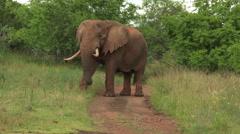African Elephant (Loxodonta africana) Stock Footage