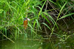 Common Kingfisher (Alcedo Atthis) - Male with Fish Stock Photos