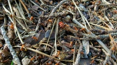 Colony of red ants. Stock Footage