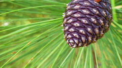 Three brown fir cones on a branch among needles Stock Footage