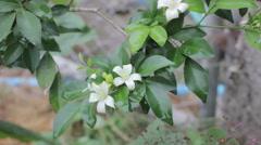 Gerdenia Crape Jasmine (Gardenia jasminoides.) Stock Footage