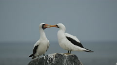 Pair of preening nazca boobies on isla espanola Stock Footage