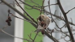 Female Common Redpoll balancing on a branch and eating seeds from the seed pod. Stock Footage