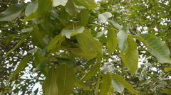 Green Walnuts On The Branch Stock Footage